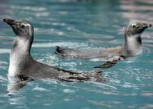 Penguin Chicks Take First Swim