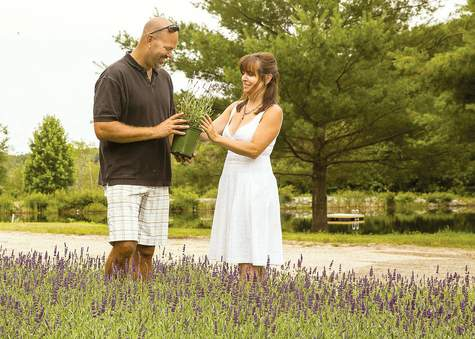 Chris and Denise Salafia are converting a 25-acre Killingworth cattle farm into a picturesque lavender farm.