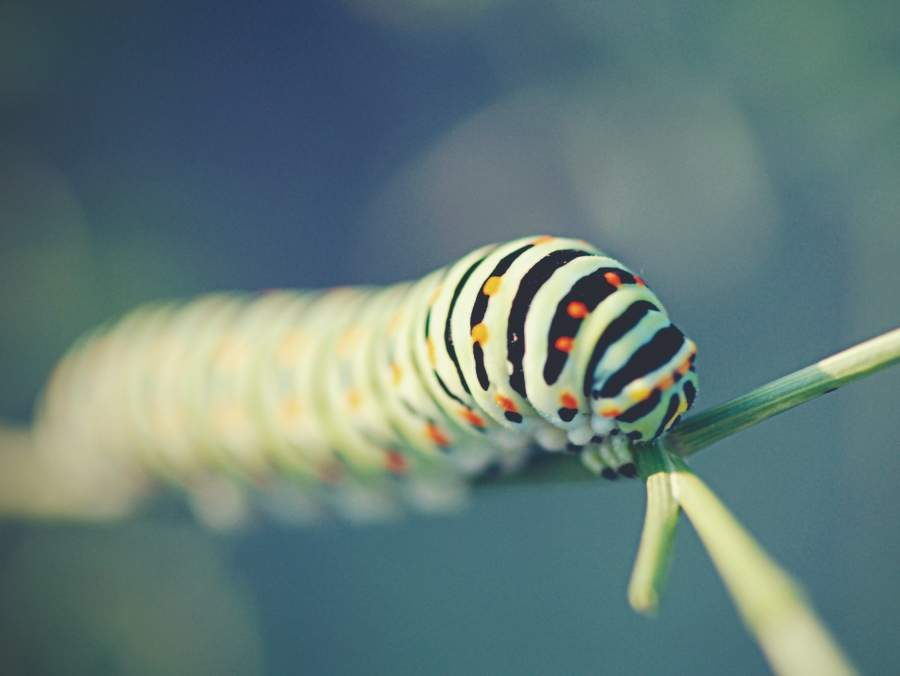 Stripped caterpillar