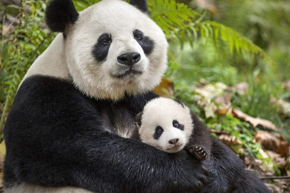 Mei, Mei, a mother panda, and her cub, Ya Ya, share a close bond in Disney's documentary, Born in China. Photograph by Ben Wallis. Copyright Disneynature