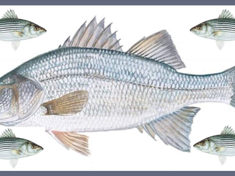 White perch (middle), surrounded by their distant striped bass cousins, are a popular and tasty schooling fish. Photo illustration courtesy of Captain Morgan