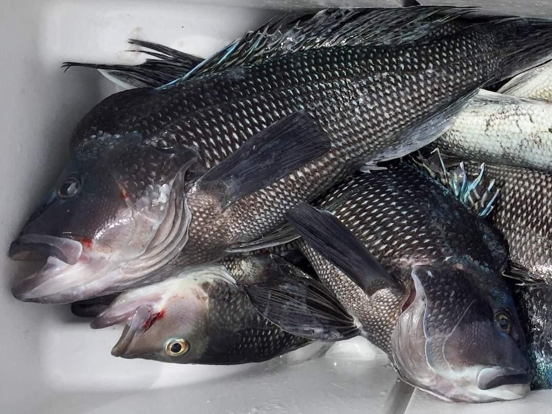 Black sea bass, whose regulations are being updated, are a popular fish that's relatively easy to catch and abundant in the Sound. Photo courtesy of Captain Morgan