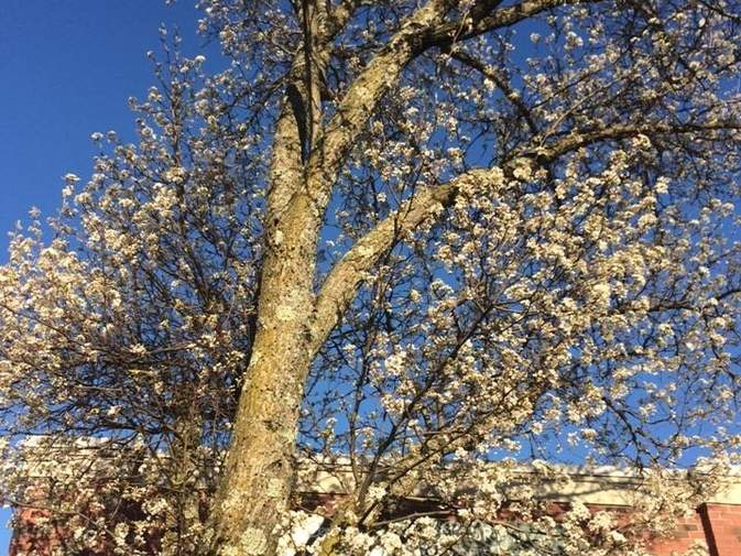 Limbs of the non-native Bradford Pear tree can weaken and come down as the tree ages, making them a hazard.   Pam Johnson/The Sound