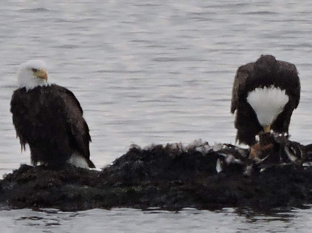 American bald eagles known to prey on trout and salmon also hunt the Sound's fishery and will feed on sea birds, as this pair did by Sachem Head. Photo courtesy of Michael McNiff