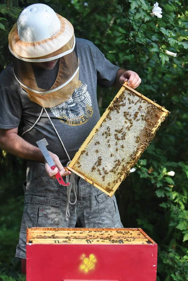 Guilford Bee Keeper Rich Evans checks in on his hives, as the honey bees gather pollen from  nearby Rose of Sharon flowers.    Photo by Kelley Fryer/elan