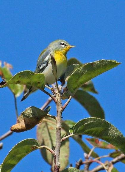 Wood Warblers of Cockaponset State Park