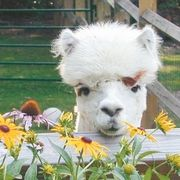 Alpaca Holiday Open Farm Days; Saturday, November, 24, 2012